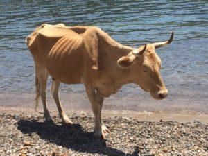 Les vaches de Girolata